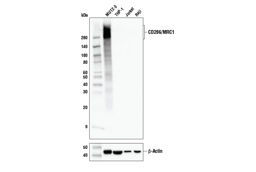 Western blot analysis of extracts from various cell lines using CD206/MRC1 (E2L9N) Rabbit mAb (upper) or β-Actin (D6A8) Rabbit mAb #8457 (lower).