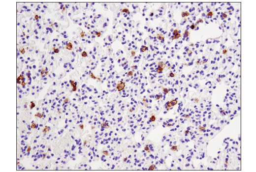 Image 45: Mouse Immune Cell Phenotyping IHC Antibody Sampler Kit