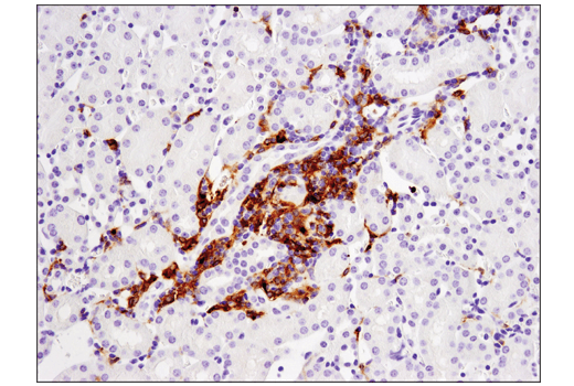 Image 31: Mouse Immune Cell Phenotyping IHC Antibody Sampler Kit