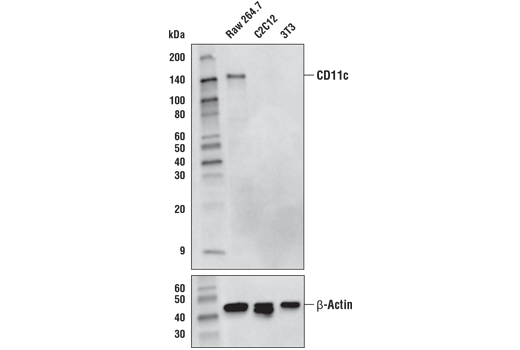 Western blot analysis of extracts from Raw 264.7, C2C12, and 3T3 cells using CD11c (D1V9Y) Rabbit mAb (upper) or β-Actin (D6A8) Rabbit mAb #8457 (lower).
