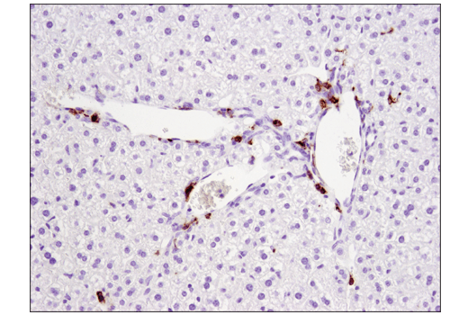 Immunohistochemical analysis of paraffin-embedded mouse liver using CD11c (D1V9Y) Rabbit mAb.