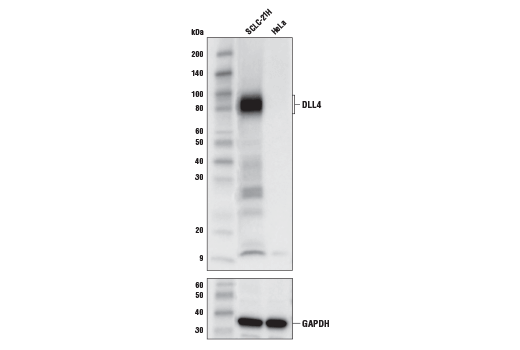 Western blot analysis of extracts of SCLC-21H and HeLa cells using DLL4 (D7N3H) Rabbit mAb (upper) and #5174 GAPDH (D16H11) XP<sup>®</sup> Rabbit mAb. As expected, HeLa cells are low or negative.