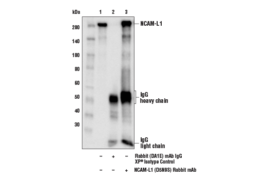 Monoclonal Antibody Immunoprecipitation Homotypic Cell-Cell Adhesion