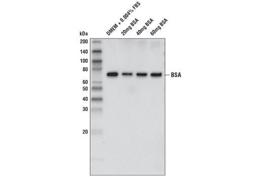 Western Blotting Image 1: BSA (D4L9G) Mouse mAb