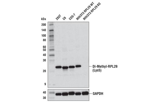 Monoclonal Antibody Western Blotting Heparin Binding