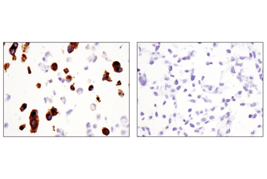 Monoclonal Antibody Immunohistochemistry Paraffin Synaptic Vesicle Maturation - count 6