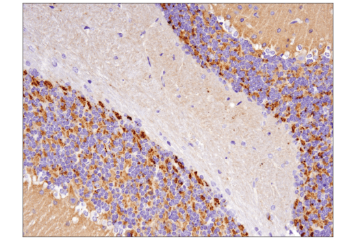 Immunohistochemical analysis of paraffin-embedded mouse cerebellum using Synaptophysin (D8F6H) XP<sup>®</sup> Rabbit mAb.