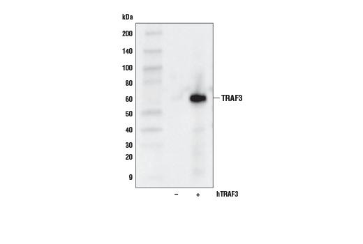 Monoclonal Antibody - TRAF3 (D1N5B) Rabbit mAb - Immunoprecipitation, Western Blotting, UniProt ID Q13114, Entrez ID 7187 #61095 - #61095
