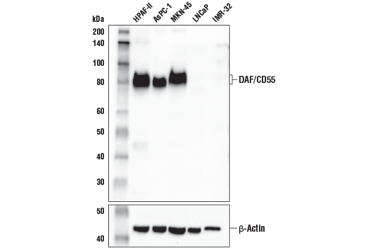 Polyclonal Antibody Western Blotting Regulation of Complement Activation - count 4