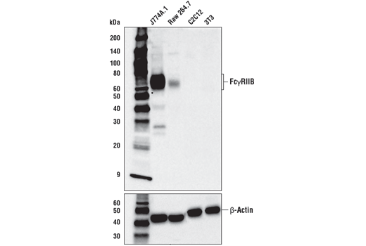 Western blot analysis of extracts from various cell lines using FcγRIIB (D8F9C) XP<sup>®</sup> Rabbit mAb (Mouse Specific) (upper) or β-Actin (D6A8) Rabbit mAb #8457 (lower).