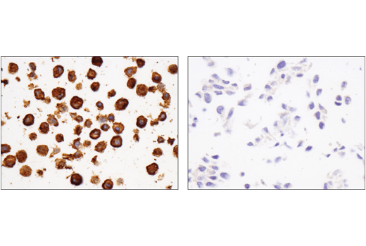 Immunohistochemical analysis of paraffin-embedded J774A.1 cell pellet (left, positive) or NIH/3T3 cell pellet (right, negative) using FcγRIIB (D8F9C) XP<sup>®</sup> Rabbit mAb (Mouse Specific).