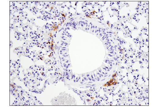 Immunohistochemical analysis of paraffin-embedded mouse lung using FcγRIIB (D8F9C) XP<sup>®</sup> Rabbit mAb (Mouse Specific).