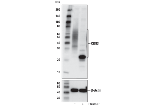 Western blot analysis of extracts from HDLM-2 cells, untreated (-) or treated with PNGase F (+), using CD83 (D8V7V) Rabbit mAb (upper) or β-Actin (D6A8) Rabbit mAb #8457 (lower).