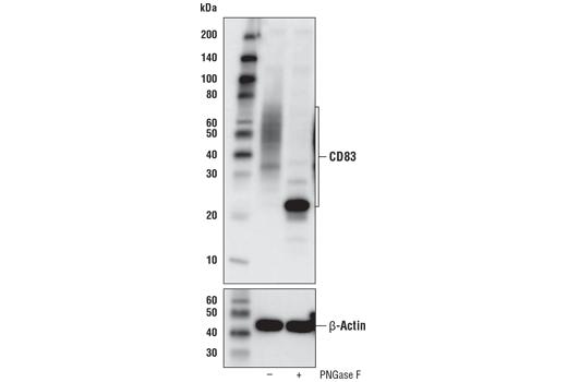 Monoclonal Antibody - CD83 (D8V7V) Rabbit mAb - Immunoprecipitation, Western Blotting, UniProt ID Q01151, Entrez ID 9308 #99075, Cd Markers