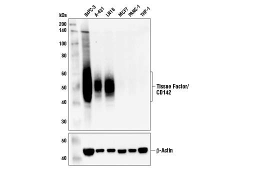 Western blot analysis of extracts from various cell lines using Tissue Factor/CD142 (E2Y6L) Rabbit mAb (upper) and β-Actin (D6A8) Rabbit mAb #8457 (lower). As expected, Tissue Factor/CD142 protein is expressed at very low levels in MCF7, PANC-1 and THP-1 cells.