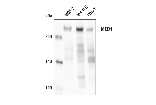 Western blot analysis of extracts from various cell lines using MED1 Antibody.