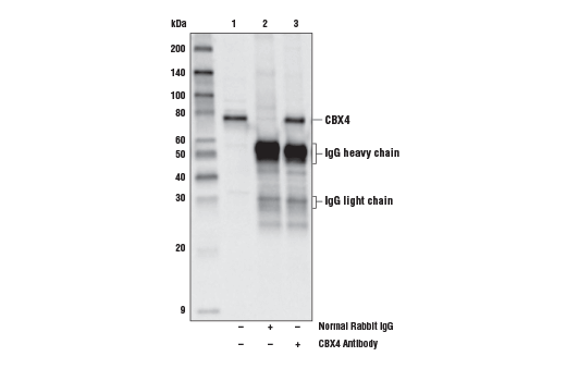 Immunoprecipitation of CBX4 from MCF7 cell extracts. Lane 1 is 10% input, lane 2 is Normal Rabbit IgG #2729, and lane 3 is CBX4 Antibody. Western blot analysis was performed using CBX4 Antibody.