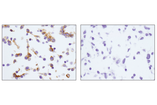 Immunohistochemical analysis of paraffin-embedded mIMCD-3 cell pellet (left, positive) or C2C12 cell pellet (right, negative) using EpCAM (E6V8Y) XP<sup>®</sup> Rabbit mAb (Mouse Preferred).