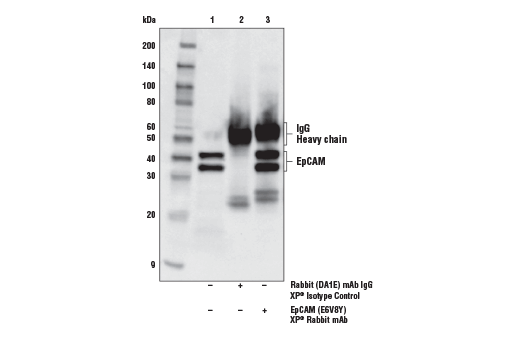 Immunoprecipitation of EpCAM from mIMCD-3 cell extracts. Lane 1 is 10% input, lane 2 is Rabbit (DA1E) mAb IgG XP<sup>®</sup> Isotype Control #3900, and lane 3 is EpCAM (E6V8Y) XP<sup>®</sup> Rabbit mAb (Mouse Preferred). Western blot analysis was performed using EpCAM (E6V8Y) XP<sup>®</sup> Rabbit mAb (Mouse Preferred).