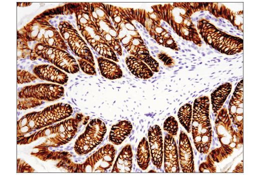 Immunohistochemical analysis of paraffin-embedded mouse colon using EpCAM (E6V8Y) XP<sup>®</sup> Rabbit mAb (Mouse Preferred).
