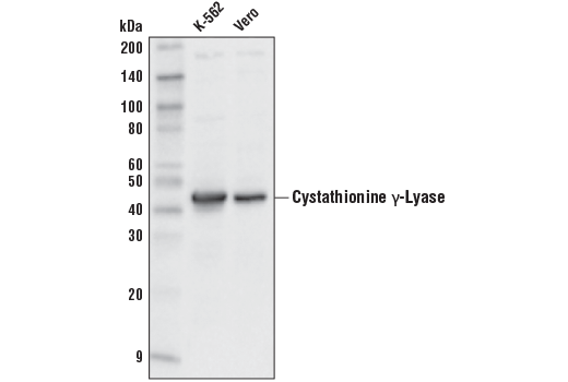 Western blot analysis of extracts from K-562 and Vero cell lines using Cystathionine γ-Lyase (D4E9J) Rabbit mAb.