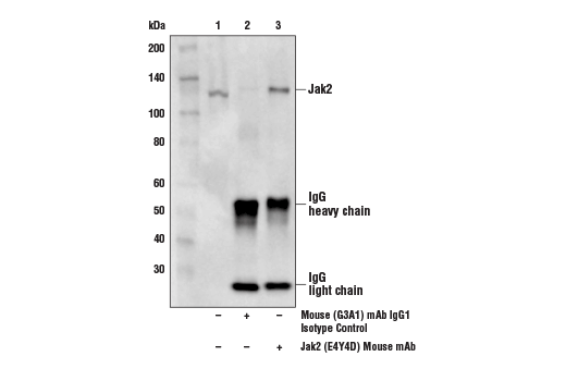 Immunoprecipitation of Jak2 protein from K-562 cell extracts. Lane 1 is 10% input, lane 2 is Mouse (G3A1) mAb IgG1 Isotype Control #5415, and lane 3 is Jak2 (E4Y4D) Mouse mAb. Western blot analysis was performed using Jak2 (E4Y4D) Mouse mAb.