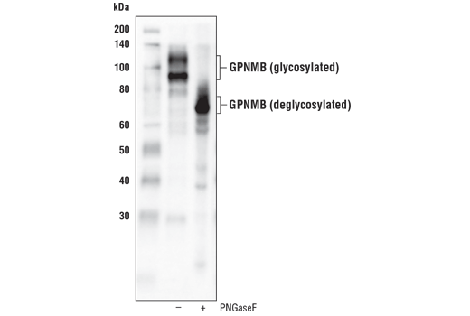 Western blot analysis of extracts from UACC-62 cells, untreated (-) or treated with PNGaseF (+), using GPNMB (E4D7P) XP<sup>®</sup> Rabbit mAb.