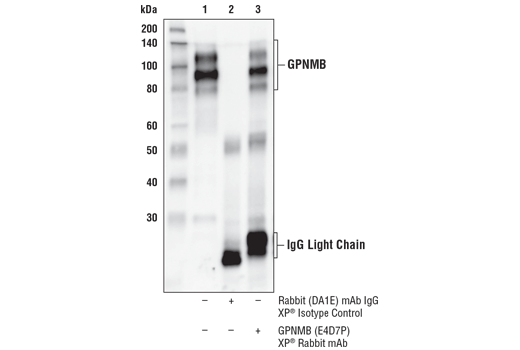 Immunoprecipitation of GPNMB from SK-MEL-28 cell extracts. Lane 1 is 10% input, lane 2 is Rabbit (DA1E) mAb IgG XP<sup>®</sup> Isotype Control #3900, and lane 3 is GPNMB (E4D7P) XP<sup>®</sup> Rabbit mAb. Western blot analysis was performed using GPNMB (E4D7P) XP<sup>®</sup> Rabbit mAb. Anti-Rabbit HRP-conjugated light chain-specific secondary antibody was used for detection.