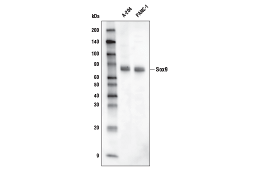 Monoclonal Antibody - Sox9 (D8G8H) Rabbit mAb (Biotinylated), UniProt ID P48436, Entrez ID 6662 #33636, Transcription Factors