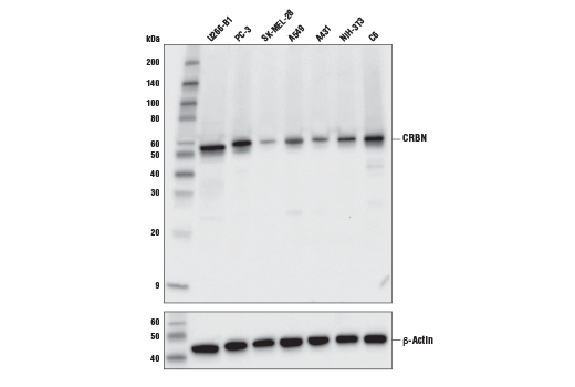 Monoclonal Antibody Immunoprecipitation Negative Regulation of Protein Homooligomerization