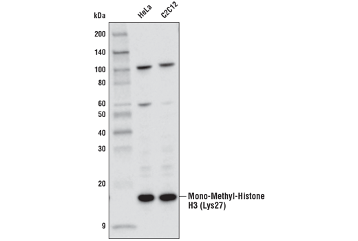 Western blot analysis of extracts from HeLa and C2C12 cell lines using Mono-Methyl-Histone H3 (Lys27) (D3R8N) Rabbit mAb.