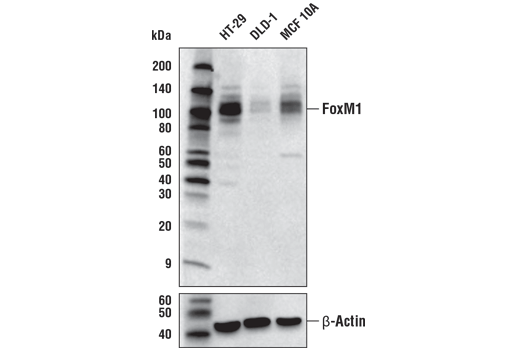 Western blot analysis of extracts from HT-29, DLD-1, and MCF 10A cells using FoxM1 (D3F2B) Rabbit mAb (upper) and β-actin (D6A8) Rabbit mAb #8457 (lower).