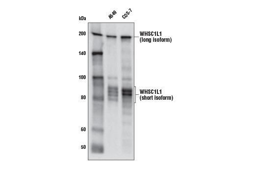 Monoclonal Antibody - WHSC1L1 (D4N9N) Rabbit mAb, UniProt ID Q9BZ95, Entrez ID 54904 #92056, Chromatin Regulation / Acetylation