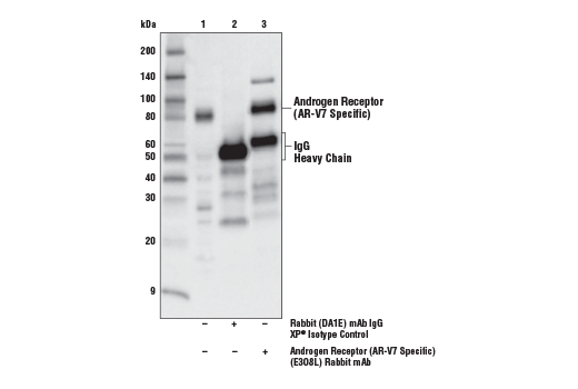 Immunoprecipitation of AR-V7 from 22Rv1 cell extracts. Lane 1 is 10% input, lane 2 is Rabbit (DA1E) mAb XP<sup>®</sup> Isotype Control #3900, and lane 3 is Androgen Receptor (AR-V7 Specific) (E3O8L) Rabbit mAb. Western blot analysis was performed using Androgen Receptor (AR-V7) (E3O8L) Rabbit mAb.