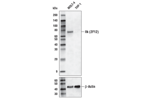 Western Blotting Image 1: Itk (2F12) Mouse mAb (Biotinylated)