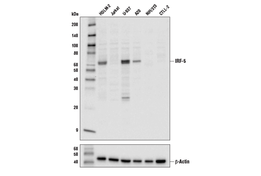 Western blot analysis of extracts from various cell lines using IRF-5 Antibody (upper) or β-Actin (D6A8) Rabbit mAb #8457 (lower).