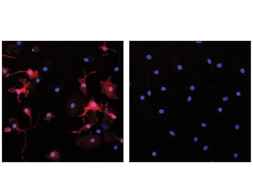 Monoclonal Antibody - Arginase-1 (D4E3M™) XP® Rabbit mAb (Alexa Fluor® 647 Conjugate), UniProt ID P05089, Entrez ID 383 #43279 - #43279