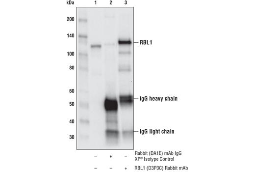 Monoclonal Antibody - RBL1 (D3P3C) Rabbit mAb - Immunoprecipitation, Western Blotting, UniProt ID P28749, Entrez ID 5933 #89798, Rb-Like