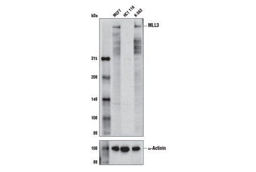 Monoclonal Antibody Histone-Lysine N-Methyltransferase Activity