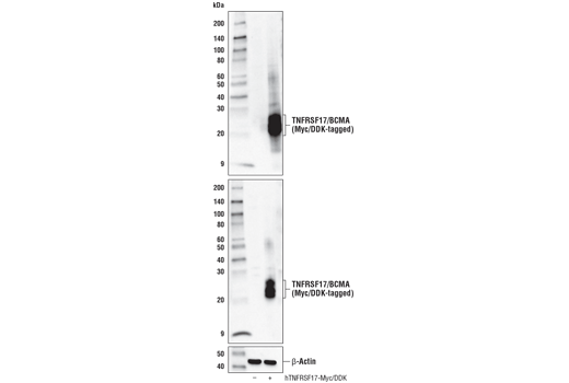 Western blot analysis of extracts from 293T cells, mock transfected (-) or transfected with a construct expressing full-length Myc/DDK-tagged human TNFRSF17 protein (hTNFRSF17-Myc/DDK; +), using TNFRSF17/BCMA (E6D7B) Rabbit mAb (upper), DYKDDDDK Tag Antibody #2368 (middle), and β-Actin (D6A8) Rabbit mAb #8457 (lower).