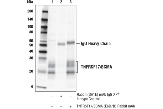 Immunoprecipitation of TNFRSF17/BCMA from U266 cell extracts. Lane 1 is 10% input, lane 2 is Rabbit (DA1E) mAb IgG XP<sup>®</sup> Isotype Control #3900, and lane 3 is TNFRSF17/BCMA (E6D7B) Rabbit mAb. Western blot analysis was performed using TNFRSF17/BCMA (E6D7B) Rabbit mAb. A HRP-conjugated heavy chain specific secondary antibody was used for detection.
