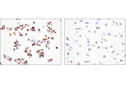 Immunohistochemical analysis of paraffin-embedded HCT 116 cell pellet (left, high-expressing) or HeLa cell pellet (right, low-expressing) using FAM3C (D1S2D) XP<sup>®</sup> Rabbit mAb.