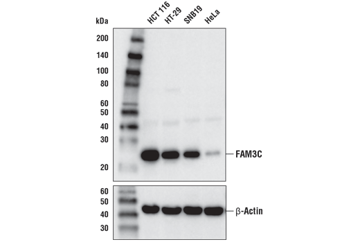 Western blot analysis of extracts from various cell lines using FAM3C (D1S2D) XP<sup>®</sup> Rabbit mAb (upper) or β-Actin (D6A8) Rabbit mAb #8457 (lower).