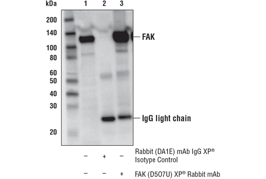 Immunoprecipitation of FAK from RD cell lysate. Lane 1 is 10% input, lane 2 is Rabbit (DA1E) mAb IgG XP<sup>®</sup> Isotype Control #3900, and lane 3 is FAK (D5O7U) XP<sup>®</sup> Rabbit mAb. Western blot analysis was performed using FAK (D5O7U) XP<sup>®</sup> Rabbit mAb. Mouse Anti-rabbit IgG (Conformation Specific) (L27A9) mAb (HRP Conjugate) #5127 was used as the secondary antibody.