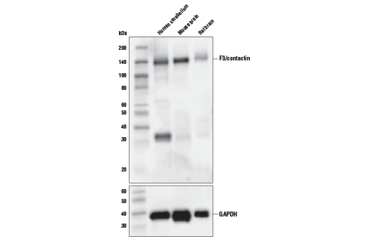 Western blot analysis of extracts from human cerebellum, mouse brain and rat brain using F3/Contactin (D7D4X) Rabbit mAb (upper) and GAPDH (D16H11) XP<sup>®</sup> Rabbit mAb #5174 (lower).