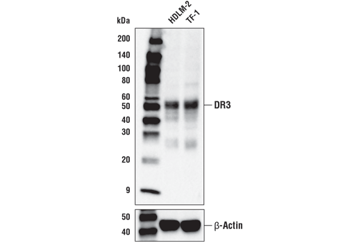 Western blot analysis of extracts from HDLM-2 and TF-1 cell lines using DR3 (D5Q2R) Rabbit mAb (upper) or β-Actin (D6A8) Rabbit mAb #8457 (lower).