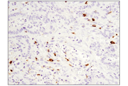Image 31: Human T Cell Co-inhibitory and Co-stimulatory Receptor IHC Antibody Sampler Kit