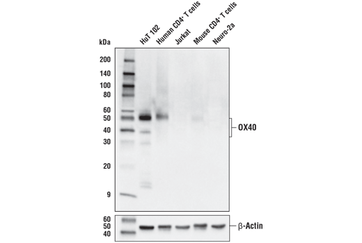 Western blot analysis of extracts from various endogenous human and mouse cells using OX40 (E9U7O) XP<sup>®</sup> Rabbit mAb (upper) and β-actin (D6A8) Rabbit mAb #8457 (lower). CD4<sup>+</sup> T cells were purified from human blood or mouse spleens, and stimulated for 9 days using beads coated with human or mouse CD3 and CD28 antibodies in the presence of Human Interleukin-2 (hIL-2) #8907 (20 ng/ml) or Mouse Interleukin-2 (mIL-2) #5201 (20 ng/ml).