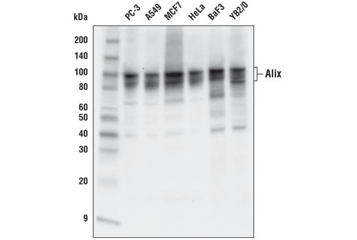 Western blot analysis of extracts from various cell lines using Alix (E6P9B) Rabbit mAb.