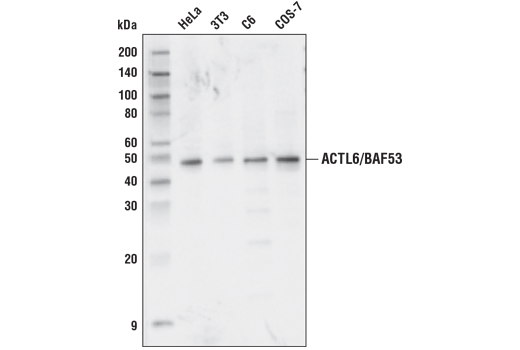 Polyclonal Antibody - ACTL6/BAF53 Antibody - Western Blotting, UniProt ID O96019, Entrez ID 86 #43910, Chromatin Regulation / Acetylation